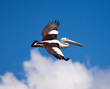 Pelican flies in the sky