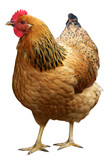 Brown hen isolated on a white background. - Fine Art prints