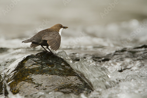 White-throated dipper, river bird - Hautes-Vosges, France