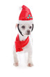 Pet dog wearing  Christmas headband and scarf