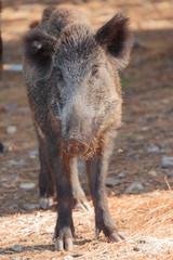 Wild zwijn in Milli national park