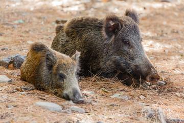 Wilde zwijnen in Milli national park
