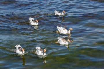 Ganzen in het Bafa meer