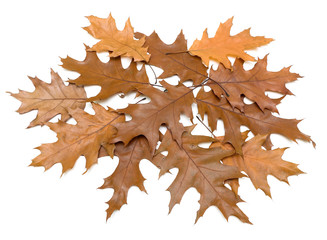 brown autumn leaves on a white background