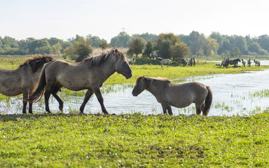 Wild horses walking along a lake at fall