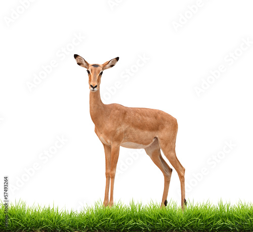 Fotobehang Antilope impala with green grass isolated