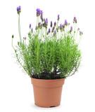 Fototapety lavender plant