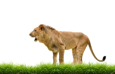 male lion with green grass isolated