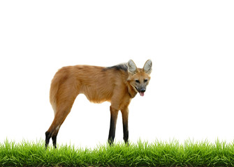 maned wolf with green grass isolated