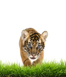 baby bangal tiger with green grass isolated