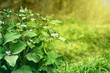 green bush agrimony in grass on autumn background