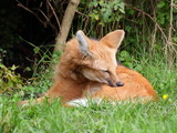 Maned wolf closeup view