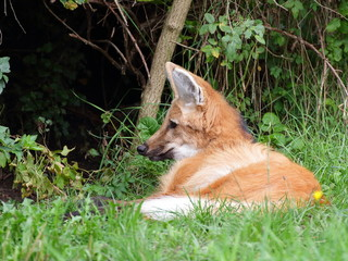 Maned wolf resting - closeup view