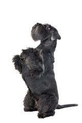 Dog (Schnauzer) dances