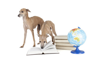 Italian greyhound with books and globe