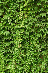 Wall of wild grape leafs