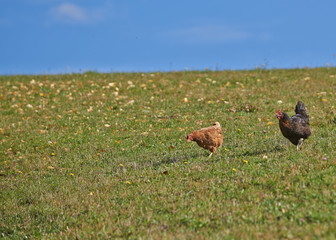 Two hens on a grass field
