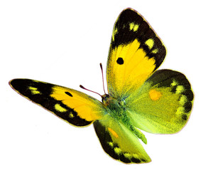 Dark Clouded Yellow (Colias croceus) in flight