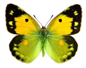 Dark Clouded Yellow (Colias croceus) isolated on white