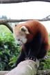 Red panda, Panda roux de Chine