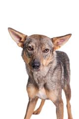 Mixed breed dog isolated on white background