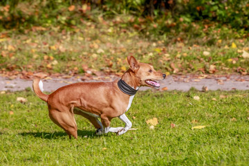Red basenji on the autumn meadow