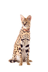 Beautiful serval (Leptailurus serval) on the white background