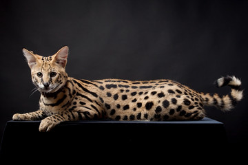 Beautiful serval (Leptailurus serval) on the black background