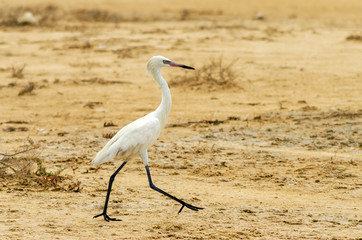 Walking Great Egret