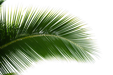 Leaf of coconut palm tree isolated