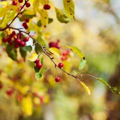 Autumn berry tree background