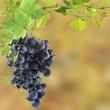 grappe de raisin noir sur fond d'automne