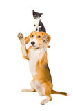Playful dog with a kitten on the head
