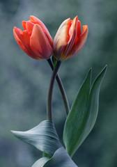 Tulipany © mycatherina