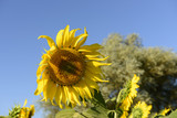 "sunflowers in the ""holy valley"" #01, Rieti"