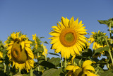 "sunflowers in the ""holy valley"" #02, Rieti"