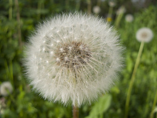 Happy Dandelion