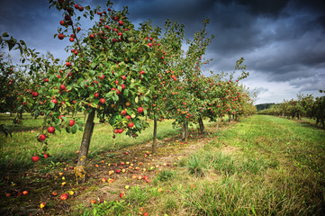Apple orchard at cloudy day