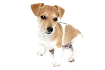 aufmerksamer Jack Russell Terrier Welpe