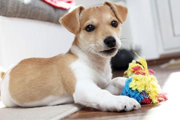 Jack Russell Terrier Welpe möchte spielen