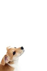 Jack Russell Terrier Welpe guckt erwartungsvoll nach oben