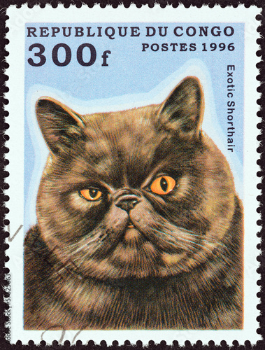 Exotic Shorthair cat (Congo 1996)
