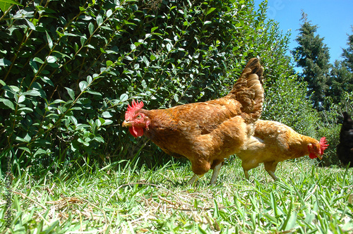 Gallinas de corral
