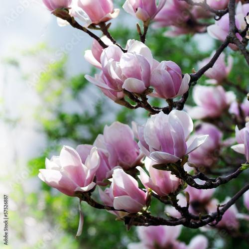 Fotobehang Magnolia Magnolia blossom