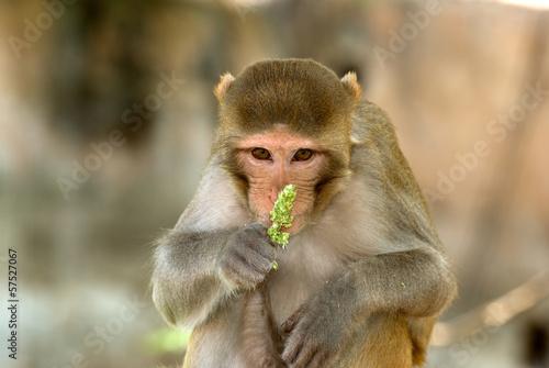 Foto op Canvas Aap Rhesus macaque, Deeg, Rajasthan, India