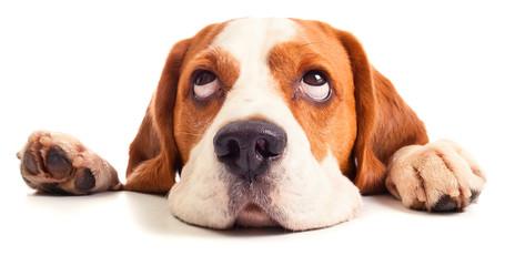 beagle head isolated on white
