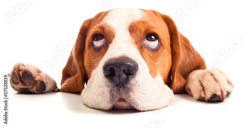 beagle head isolated on white poster