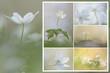 canvas print picture - Buschwindroeschen Collage