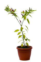 chili pepper plant in pot isolated on white background