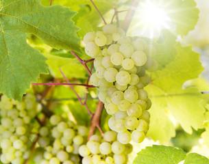 Weiße Weinreben